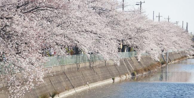 高橋弘幸-桜咲く風景