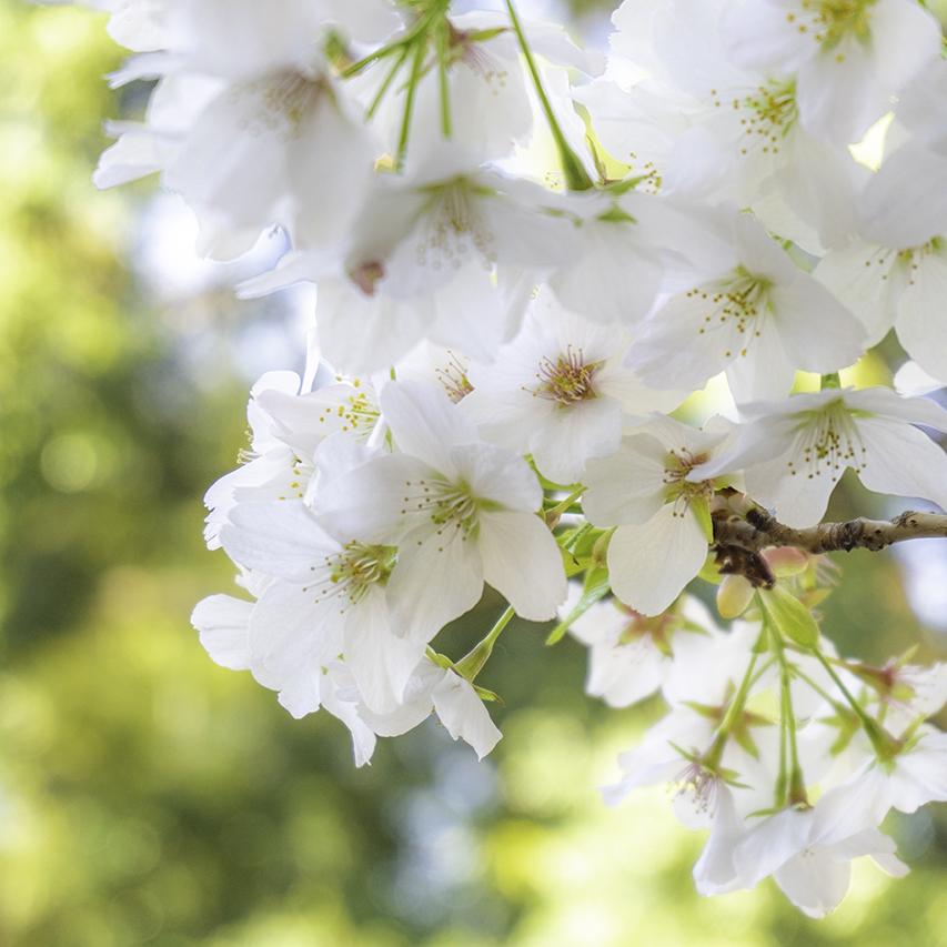 大蓮寺(川崎市高津区久本)桜